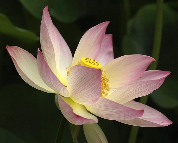 photoshare Lotus In Profile Huntington Gardens San Marino spicysquid