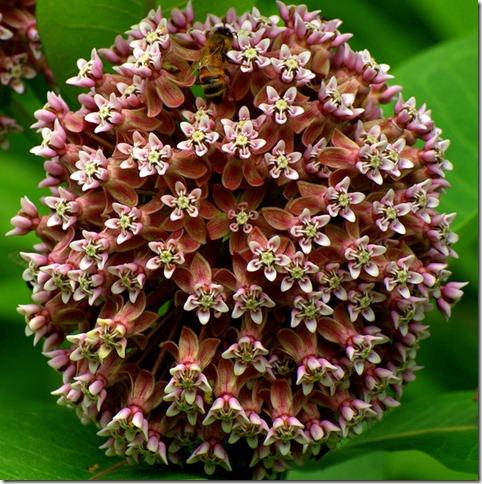 photoshare milkweed-& bees Favetteville NY aladdin1940