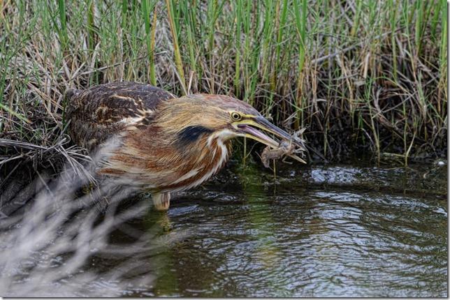 photoshare Crawfish for Dinner Ellirwood KS Cptkirk (Quivara National Wildlife Refuge)
