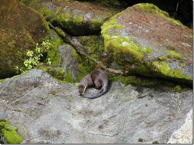 PS II River Otter fsdotfeddotus