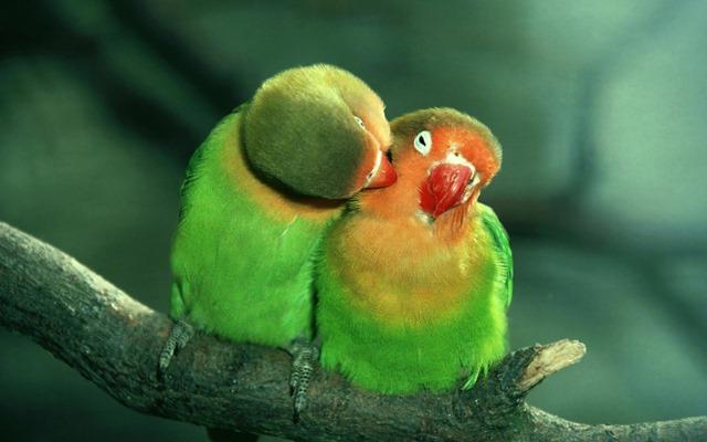 Love-Birds-Parrots
