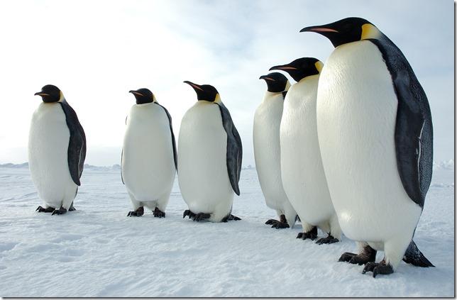 Six_Emperor_Penguins